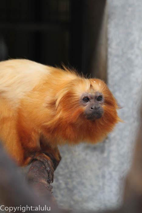 浜松市動物園 ゴールデンライオンタマリン ここでしか