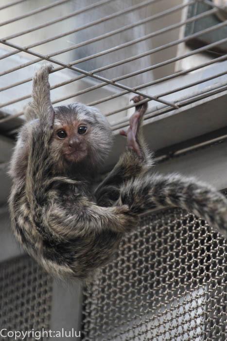 浜松市動物園 コモンマーモセット 赤ちゃん