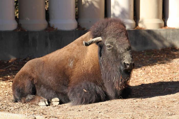 動物園 アメリカバイソン