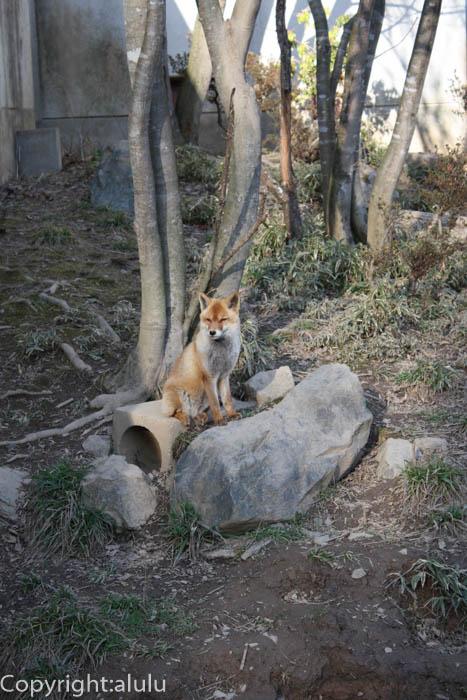 盛岡 動物園 キツネ