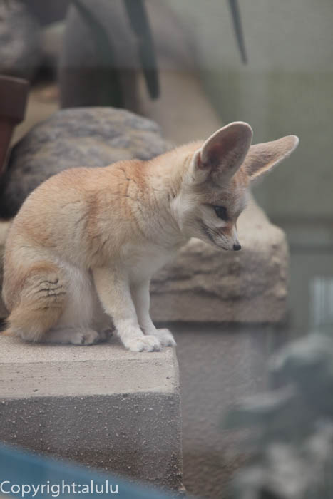 京都市動物園 フェネック 画像
