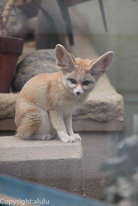 京都市動物園 フェネック