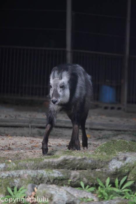 京都市動物園 ニホンカモシカ 画像