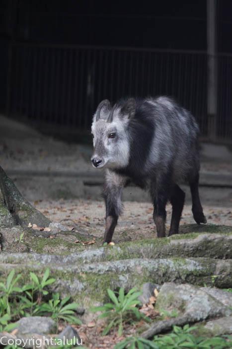 京都市動物園 ニホンカモシカ