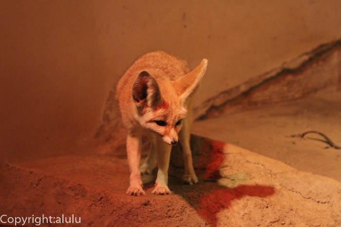 日本平動物園 フェネック 動物写真