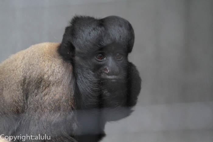 日本平動物園 クロヒゲサキ