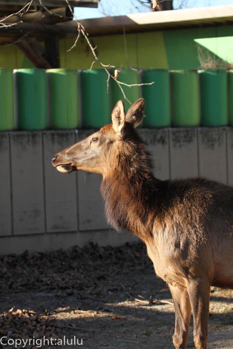 東武動物公園 動物写真 ワピチ