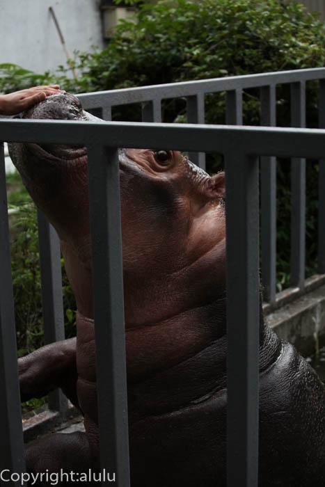 宇都宮動物園 カバ 画像