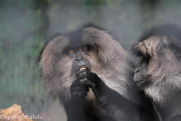 日本平動物園 シシオザル おサルさん