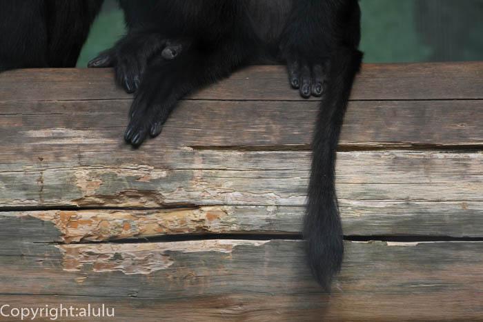 シシオザル 動物写真 しっぽ