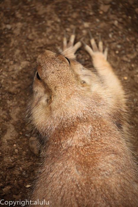 盛岡市動物公園 オグロプレーリードッグ