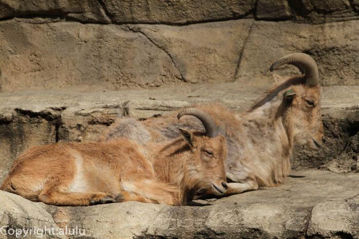 日本平動物園 バーバリーシープ 画像