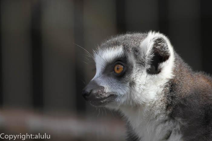 日本平動物園 サル ワオキツネザル