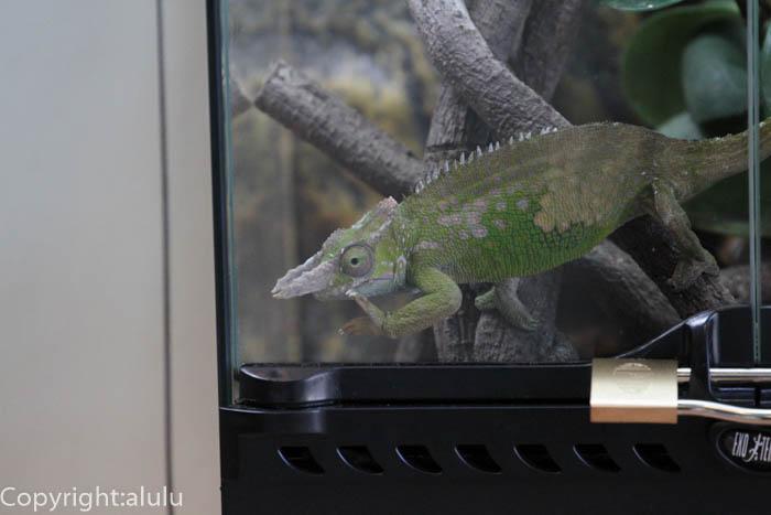 日本平動物園 爬虫類 カメレオン