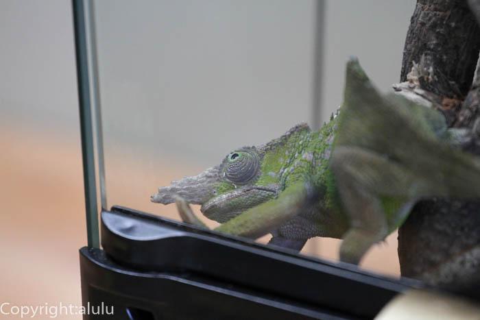 フィッシャーカメレオン 爬虫類館
