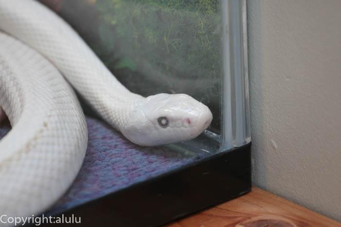 日本平動物園 爬虫類館 テキサスラットスネーク