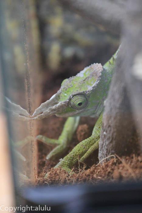 爬虫類 は虫類館 カメレオン