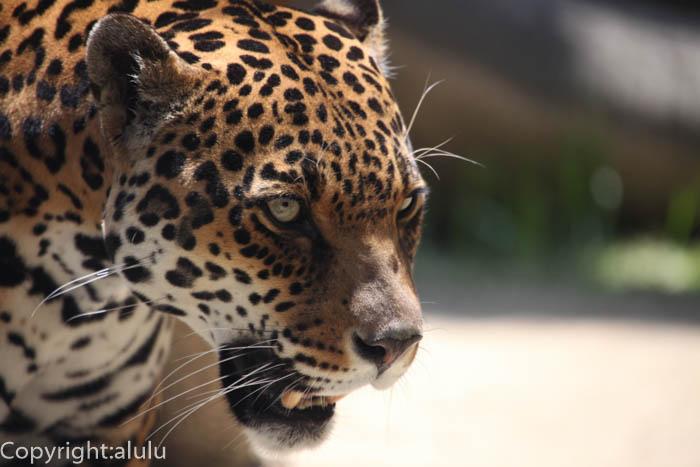 日本平動物園 ジャガー キコ