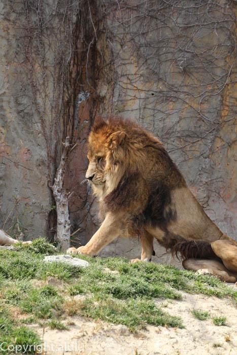 みさき公園 ライオン 画像