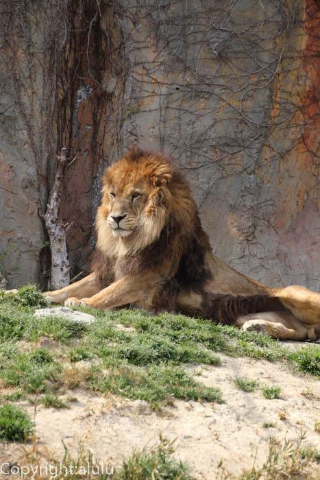 みさき公園 ライオン