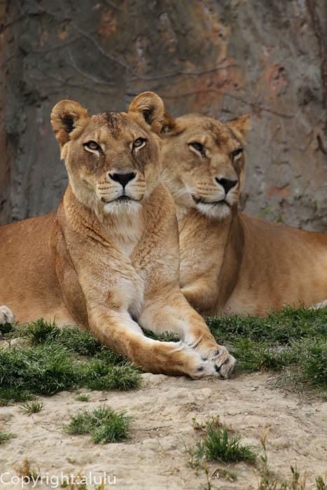 ライオン メス