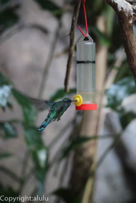 日本平動物園 アオミミハチドリ