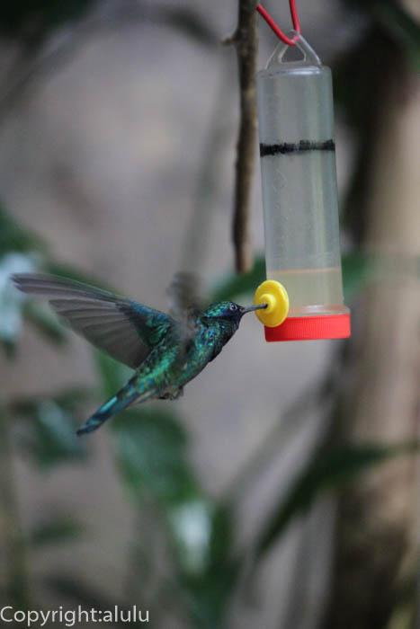 日本平動物園 ハチドリ