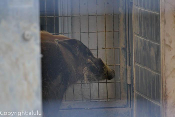 上野動物園 アカカワイノシシ 動物写真