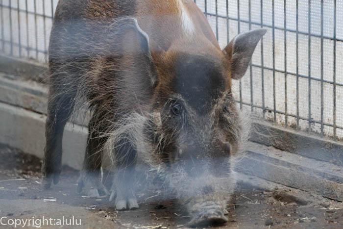 アカカワイノシシ 動物写真