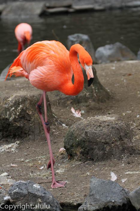 東山動物園 ベニイロフラミンゴ