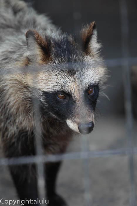 おびひろ動物園 エゾタヌキ 画像