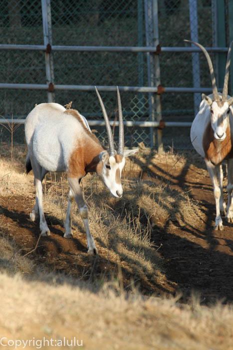 千葉市動物公園 シロオリックス