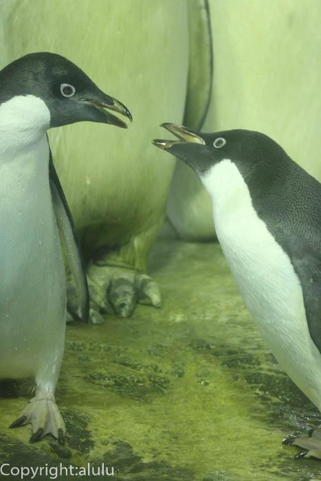 アデリーペンギン 動物写真