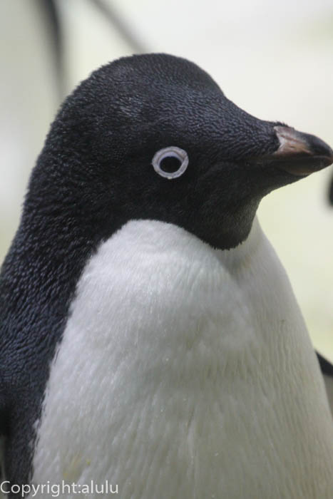 アドベンチャーワールド アデリーペンギン