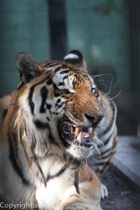 おびひろ動物園 シベリアトラ 画像