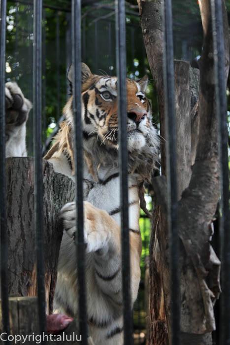 おびひろ動物園 シベリアトラ