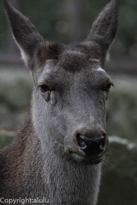 カンスーアカシカ 動物写真