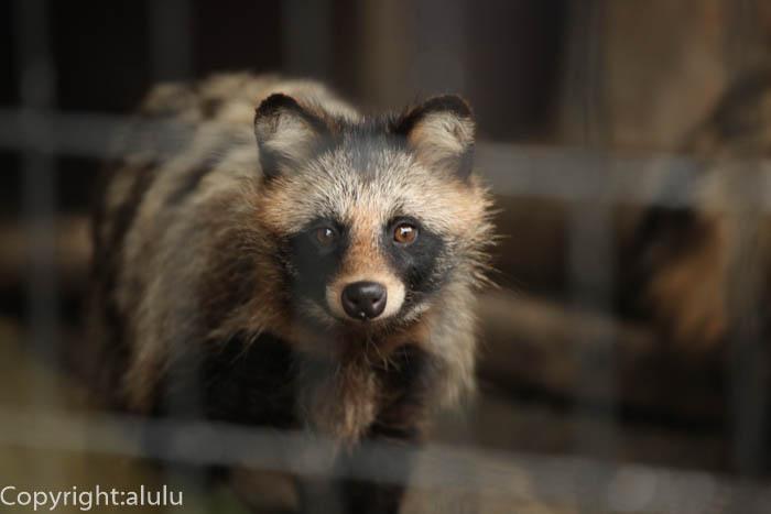 エゾタヌキ 動物写真