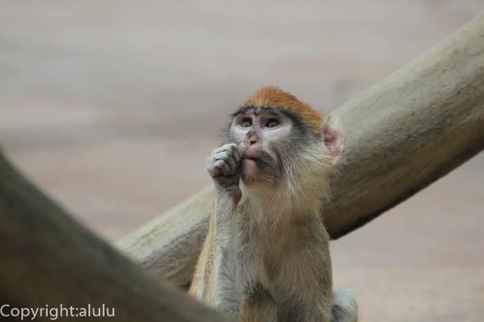 サル パタスザル