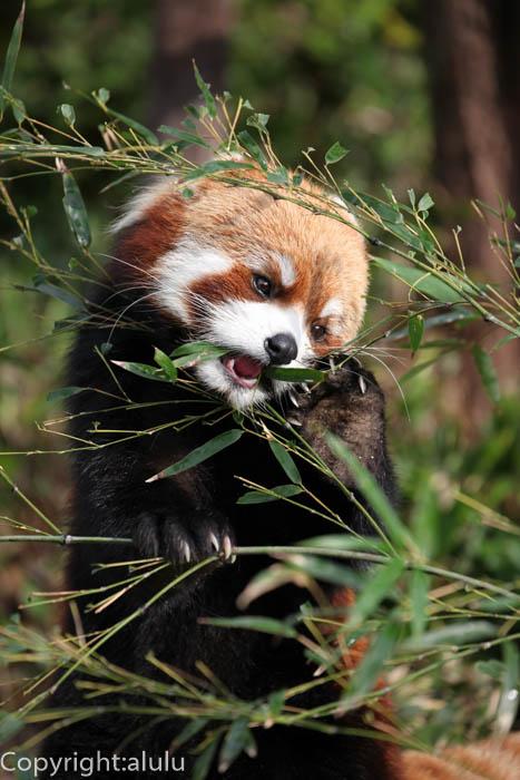 福岡市動物園 レッサーパンダ 画像