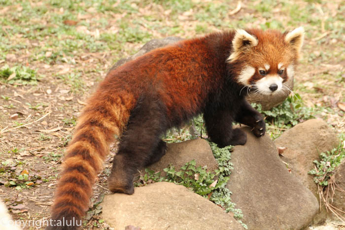 千葉県 動物園 レッサーパンダ