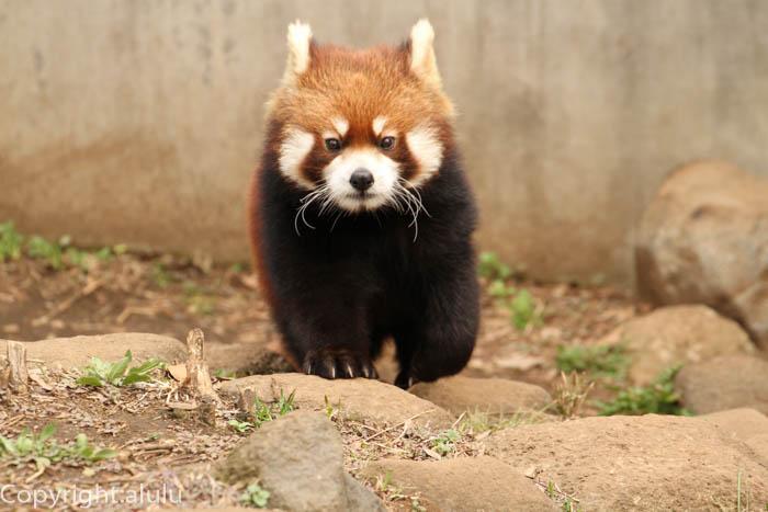 市川市動植物園 レッサーパンダ
