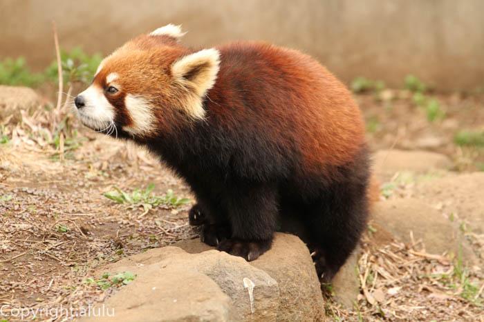 レッサーパンダ 動物写真