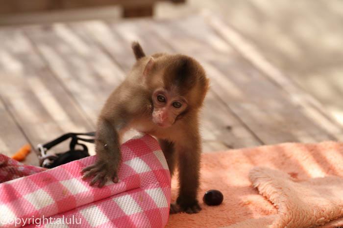 しろとり動物園 ふれあい サル