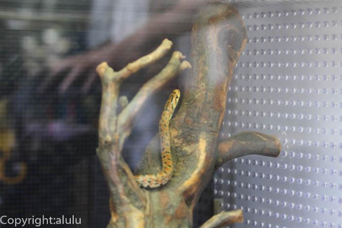 日本平動物園 は虫類館 は虫類 ジムグリ