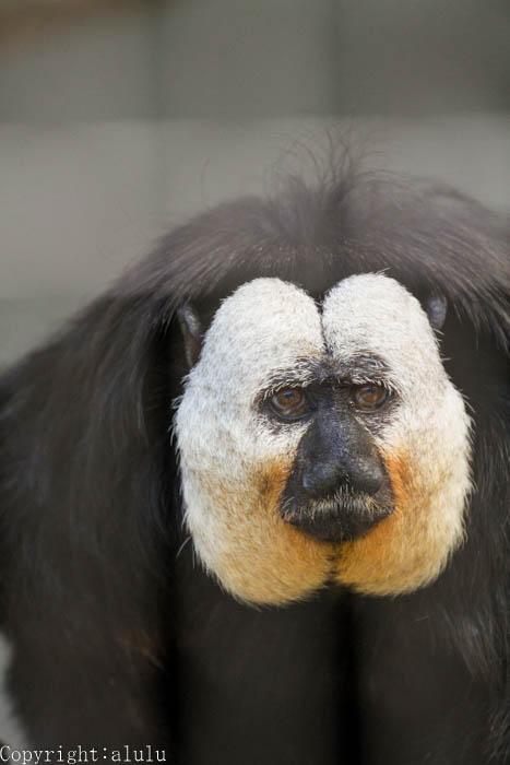 日本平動物園 サル シロガオサキ