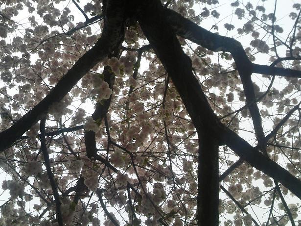 八重の日傘