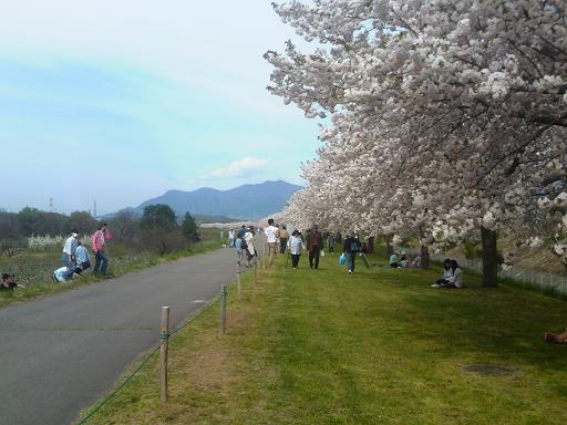 H28年4月千曲河畔八重桜の帯
