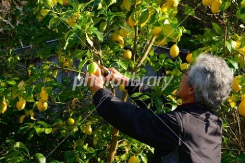 4648324 レモン収穫
