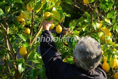 4648325 レモン収穫